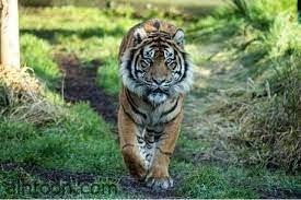 لحظة قيام النمر وهو يصطاد حيوان الكيب - صحيفة هتون الدولية