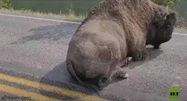 شاهد: بيسون ينام في طريق سريع - صحيفة هتون الدولية