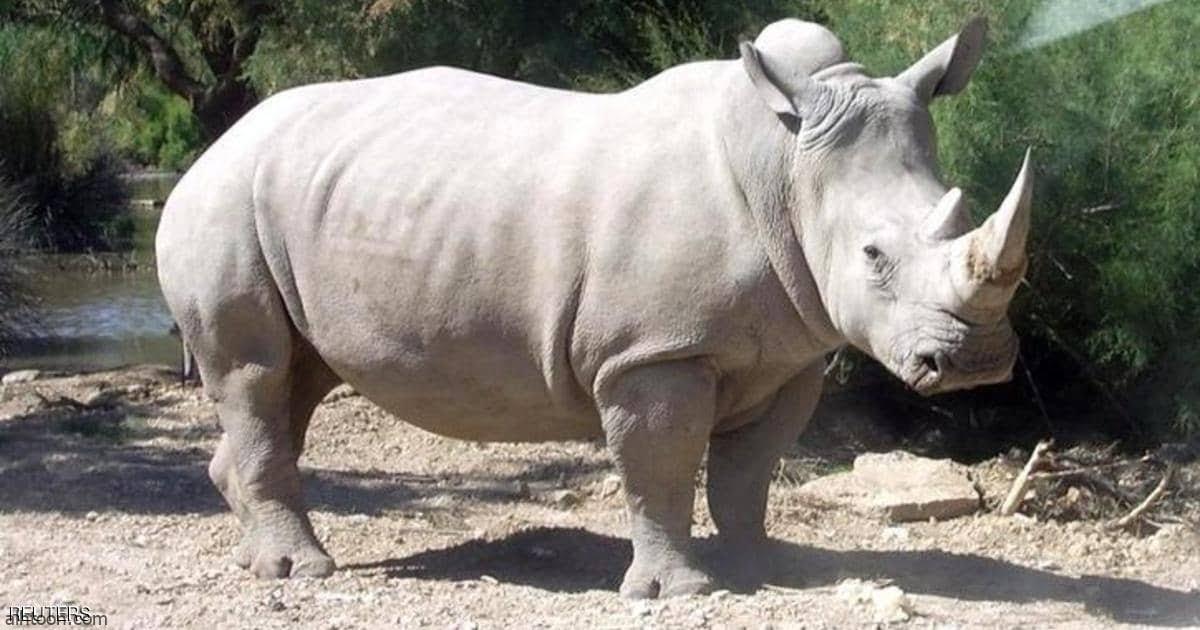 وحيد القرن يهاجم لبؤة لحماية صغيره - صحيفة هتون الدولية