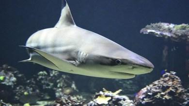 لحظة افتراس سمكة قرش لفقمة البحر - صحيفة هتون الدولية