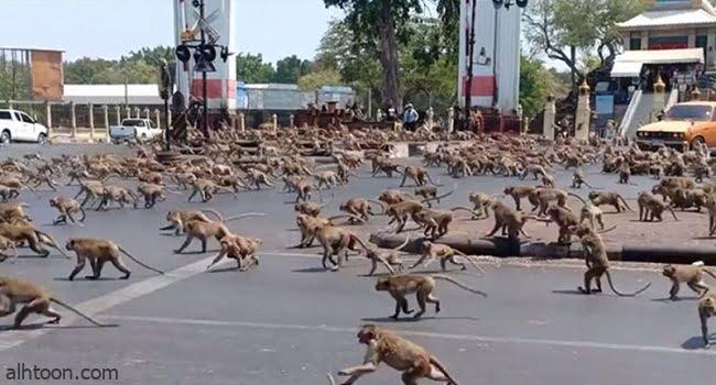 شاهد: انتشار مئات القرود في شوارع تايلند - صحيفة هتون الدولية