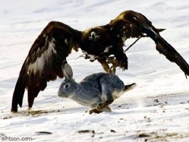 أرنب يهرب من مخالب نسر بطريقة عجيبة - صحيفة هتون الدولية