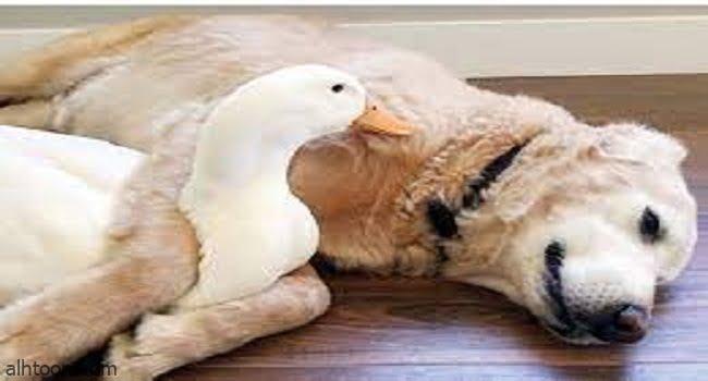 شاهد: بط يداعب كلب - صحيفة هتون الدولية