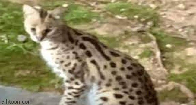 قطة إفريقية تثير الهلع في غرفة نوم سيدة -صحيفة هتون الدولية