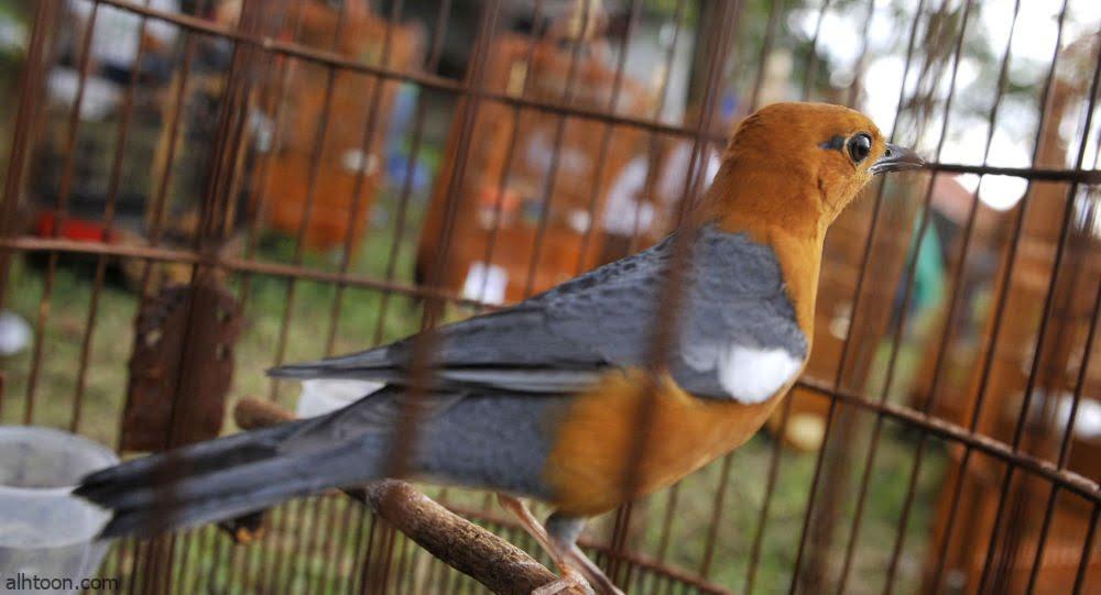 شاهد: طائر يقلد صوت رضيع - صحيفة هتون الدولية