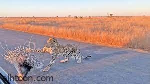 شاهد: حيوان النيص يباغت الفهد - صحيفة هتون الدولية