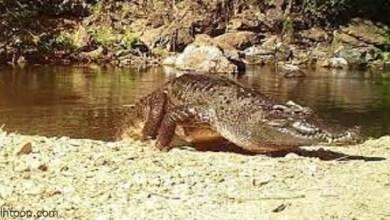 العثور على صغار تماسيح سيامية مهددة بالانقراض في كمبوديا -صحيفة هتون الدولية