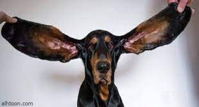 """أذنان طويلتان تدخلان كلباً موسوعة """"غينيس"""" -صحيفة هتون الدولية"""
