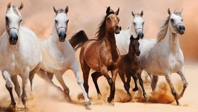 الخيول العربية أنواعها وصفاتها