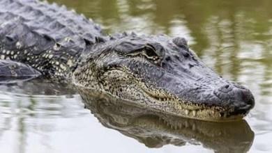شاهد: تمساح يسرق سمكة اصطادها طفل - صحيفة هتون الدولية