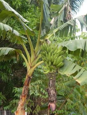 plátano con racimo 2