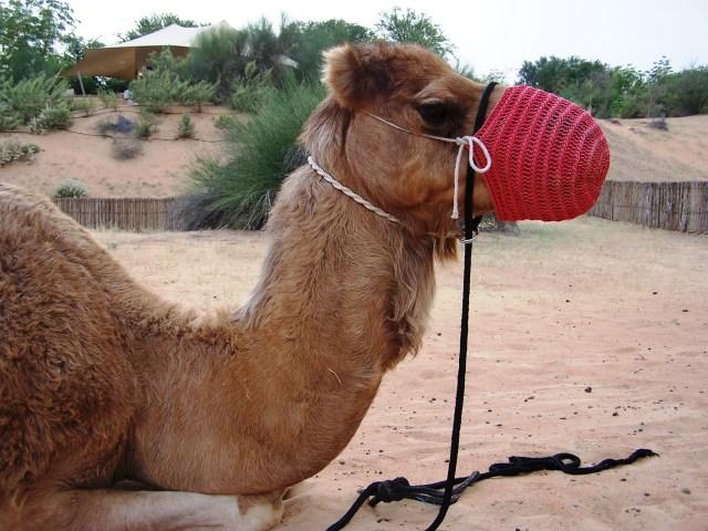Long Lashed Lady Camel of Al Maha - my transportation: f/2.8; 1/125sec