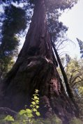 HUGE Sequoia on the trail.