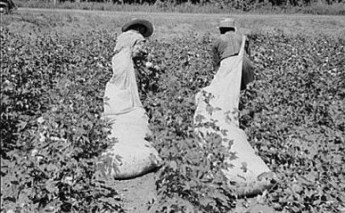 cottonpicking