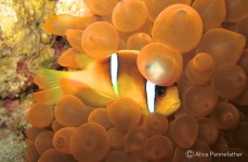 Clownfish , Underwater Photography by Alice Pennefather