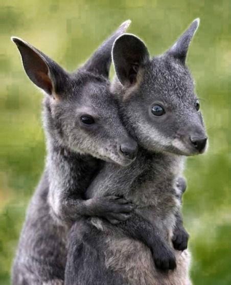 Kangaroos - Affectionate 01