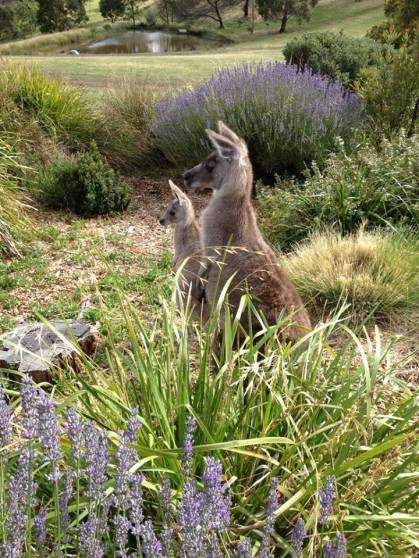 Kangaroos - Babies and mom ]002
