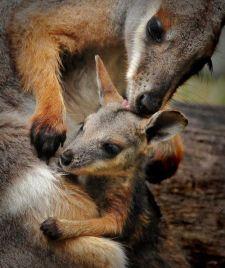 Kangaroos - Babies and mom ]004