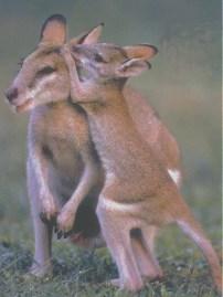 Kangaroos - Babies and mom ]006