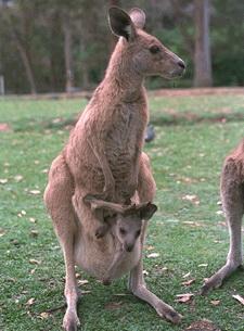 Kangaroos - Babies and mom ]009