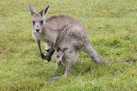 Kangaroos - Babies and mom ]014