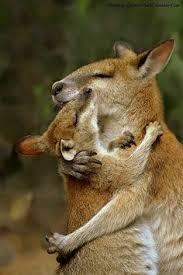 Kangaroos - Babies and mom ]018