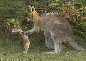 Kangaroos - Babies and mom ]020