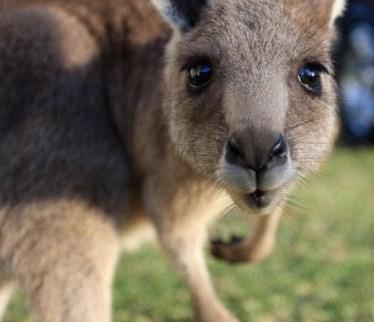 Kangaroos - Babies and young 05