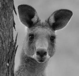 Kangaroos - Babies and young 07