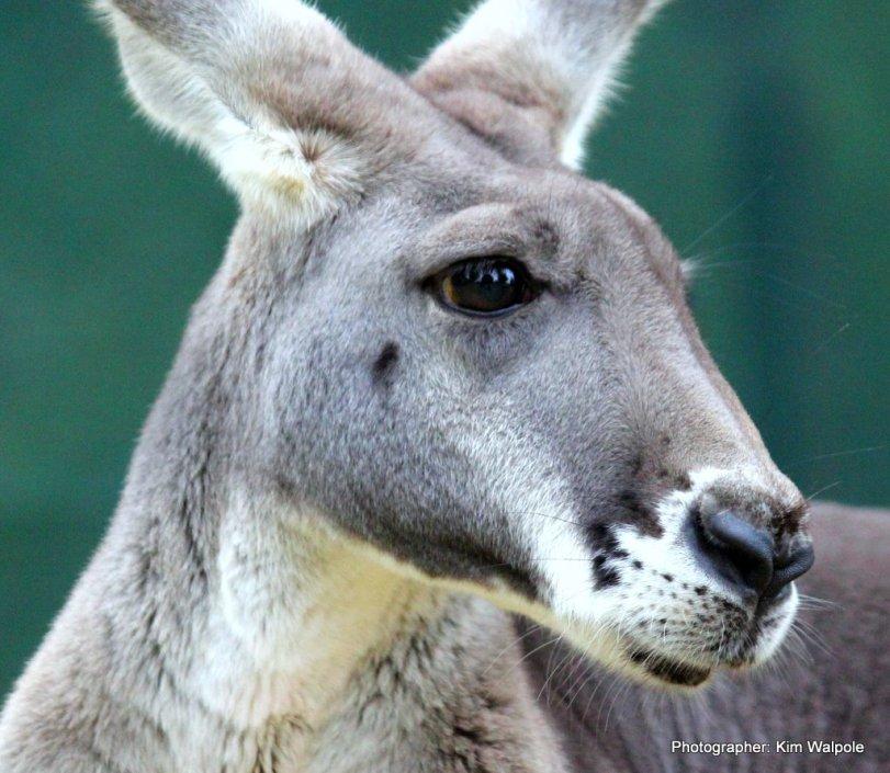 Kangaroos - Cute 004
