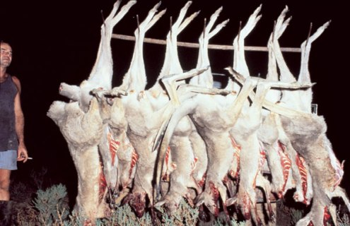 Kangaroos - Killed in trucks and storage 005