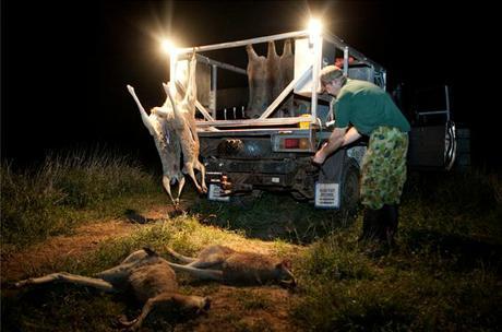Kangaroos - Killed in trucks and storage 014