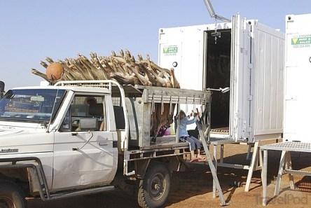 Kangaroos - Killed in trucks and storage 020