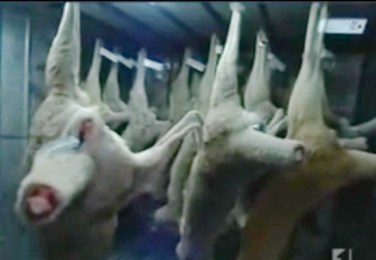 Kangaroos - Killed in trucks and storage 025