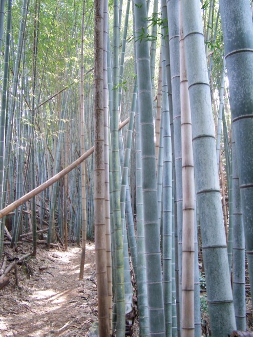 bamboo forest; Shikoku, Japan; 2006