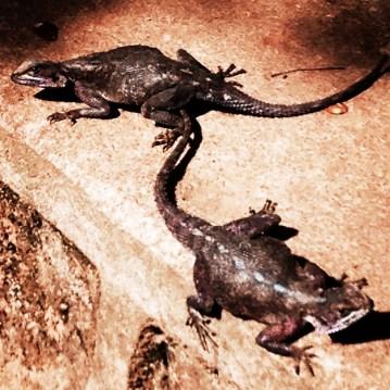 Mwanza Flat Headed Rock Agama - AKA the Spiderman Lizards