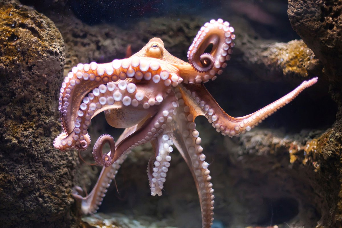 Image result for An Octopus has 3 Hearts, 9 Brains & Blue Blood