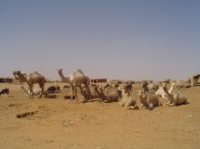 071 Camel Market