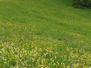 Marmot in the Dolomites