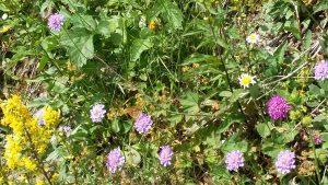 Wild flowers Adelboden