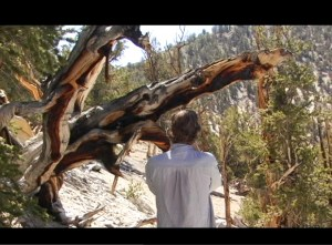 The filmmaker photographs a Bristlecone Pine tree.