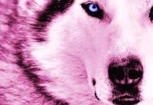 Pink Wolf In Sheep Clothing