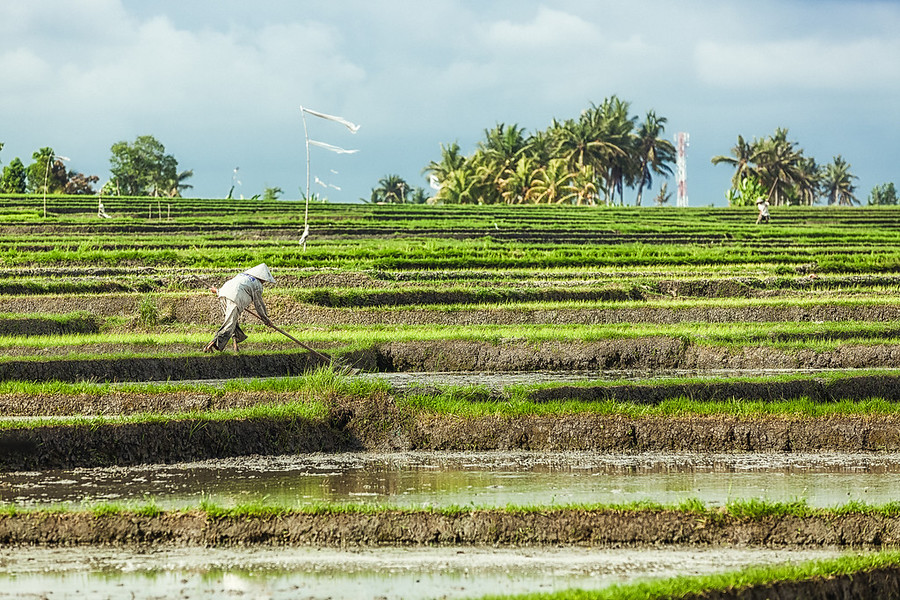Bali Rice FarmerIn Bali Indonesia they can harvest rice three times a year. There are rice fields pretty much everywhere that the land will allow and almost always someone working in them.