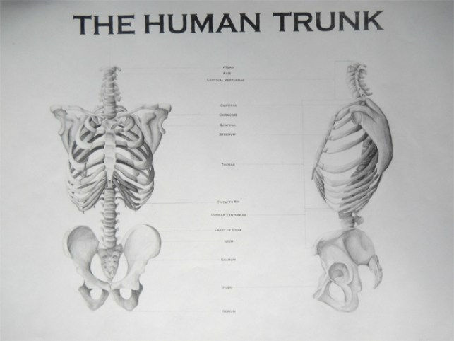 The Human Trunk