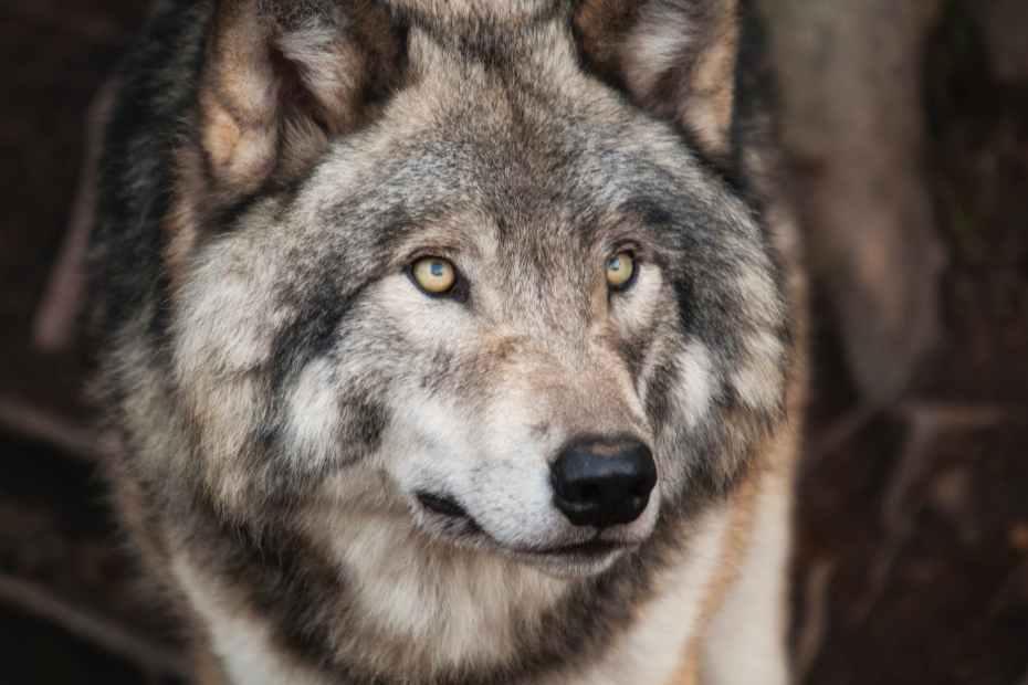 الذئب في الحلم تفسير الرؤيا
