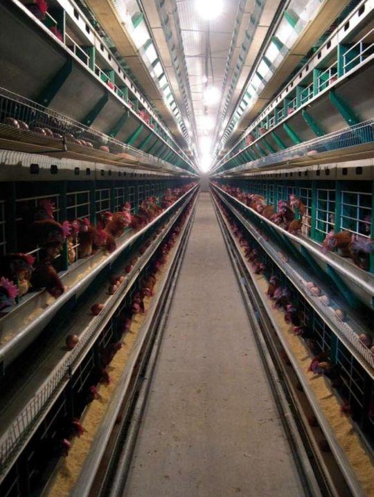 numeración en la cáscara del huevo y cría de gallinas