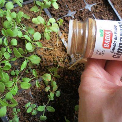 canela para las plantas del jardín
