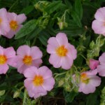 Flores de Bach: Rock Rose