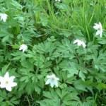 La anémona: propiedades y efectos secundarios