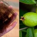 Las hojas de guayaba puede detener 100% la pérdida del cabello y hacerlo crecer como loco